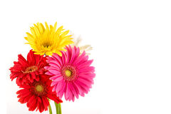 Multi colored Gerbera flowers Royalty Free Stock Image