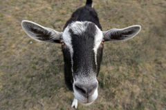Multi Colored Goat. Female multi colored goat for milk production Royalty Free Stock Photography
