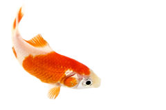 Multi-colored Goldfish Swimming Royalty Free Stock Image