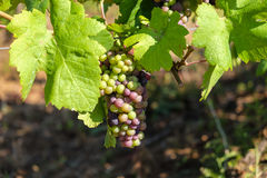 Multicolored grape bunch hanging from vine in winemaking region Stock Images