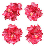 Multi-Colored hibiscus flower Stock Photography
