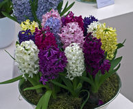 Multi-colored hyacinths in a vase. Stock Image