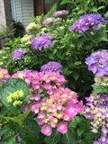 Multi-colored hydrangea. Pink and purple hydrangea flowers with green Stock Photography