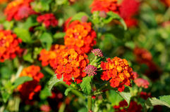 Multi-colored Lantana flowers with buds Royalty Free Stock Photo