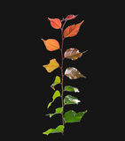 Multi colored leaves phenomenon green brown yellow orange,isolated on black. Background royalty free stock photo