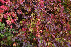 Multi-colored leaves of wild grapes Stock Images