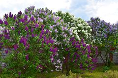 Multi-colored lilac struiken royalty-vrije stock fotografie