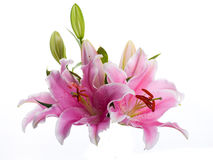 Multi-colored lilies Royalty Free Stock Photography