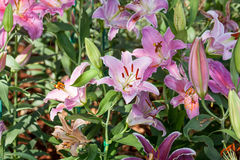 Multi-colored lilies in the garden. Stock Photo