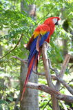 Multi-Colored Macaw Royalty Free Stock Image