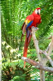 Multi-Colored Macaw Royalty Free Stock Photography