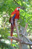 Multi-Colored Macaw Stock Images