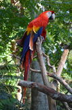 Multi-Colored Macaw Royalty Free Stock Images