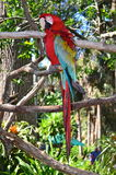 Multi-Colored Macaw on branch Royalty Free Stock Image