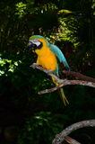 Multi-Colored Macaw on branch Royalty Free Stock Photography