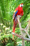 Multi-Colored Macaw on branch Royalty Free Stock Images
