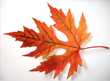 Multi-Colored Maple Leaf. Bright red, orange and brown maple leaf with clipping path. White background. Close-up Stock Photography