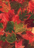 Multi Colored Maple Leaves. A bold assortment of maple leaves arranged for a fall background image.  Colors include green, red, yellow, orange, rust and brown Royalty Free Stock Photography