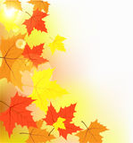 Multi-colored maple leaves in the light of sun pat. Ches of light Royalty Free Stock Photo