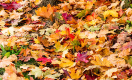 Multi-colored maple leaves lying in the grass. Multi-colored autumn maple leaves lying in the grass Stock Image