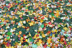 Multi-colored maple leaves Stock Photography