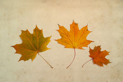 Multi-colored maple leaves Royalty Free Stock Images