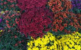 Multi Colored mums Stock Photography