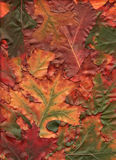 Multi Colored Oak Leaves. A bold assortment of oak leaves arranged for a fall background image.  Colors include green, red, yellow, orange, rust and brown Stock Images