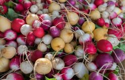 Multi Colored organic radish sold on farmers market. Multi Colored organic radish sold on farmers city market stock photos