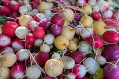 Multi Colored organic radish sold on farmers market. Multi Colored organic radish sold on city farmers market stock photography