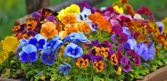 Multi-colored pansies Royalty Free Stock Photos