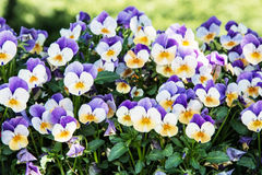 Multi colored pansies in the garden, seasonal natural scene Royalty Free Stock Photos