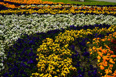 Multi-colored pansies grow in patterns Stock Photography