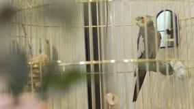 Multi-colored papegaai in een mooie vogelkooi Vrouwelijke hand wat betreft een kooi met een papegaai stock videobeelden