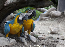 The multi colored parrot Royalty Free Stock Images