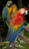 The multi colored parrot Stock Photos