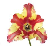 Multi colored parrot tulip, springtime. Multi colored parrot tulip tulip,close up, isolated on white background, studio shot Stock Photography