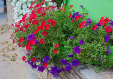 Free Multi-colored Petunias Grow In A Basket Royalty Free Stock Photos - 68288898