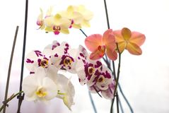 Colorful orchids on a white background. Multi-colored Phalaenopsis orchids on white background royalty free stock images
