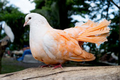 Multi-colored pigeons. Colored dove Stock Photos