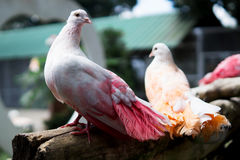 Multi-colored pigeons Stock Images