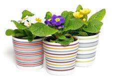 Multi-colored Primeroses In Striped Flower Pots Stock Photo