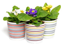 Multi-colored Primeroses in striped flower pots. On white background Stock Photo