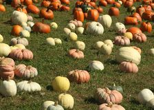 Multi colored pumpkins in a field at a pumpkin festival Royalty Free Stock Photos