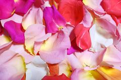 Multi-colored rose petals closeup. Romantic atmosphere. The atmosphere of love royalty free stock photo
