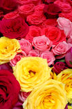 Multi-colored roses Stock Photography