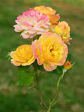 Multi colored roses, Rose Garden Stanley Park Vancouver Royalty Free Stock Photo