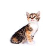 Multi-colored Small kitten. On a white background Royalty Free Stock Photo