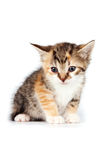 Multi-colored Small kitten. On a white background Royalty Free Stock Photos