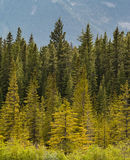 Multi-colored trees in forest Royalty Free Stock Photo